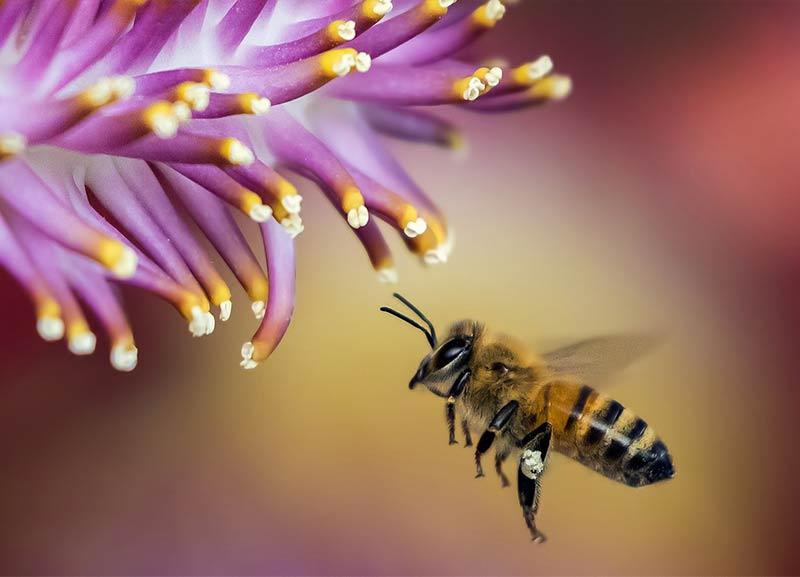 honeybee in flight